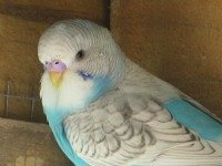 skyblue spangle budgie fledgling
