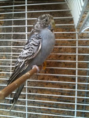 Cinderella, the one in a million budgie!