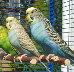 Normal and Cinnamon budgies side by side.