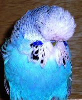 english budgerigar, show budgie
