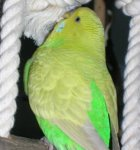 parakeet pictures, budgerigar, dilute budgie
