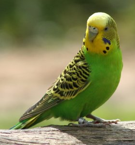 Healthy budgie