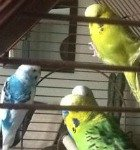 dominant pied budgie, budgie cage