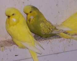 double factor and single factor spangle budgies