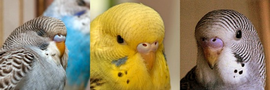 Young budgies showing head barring and lack of iris ring.